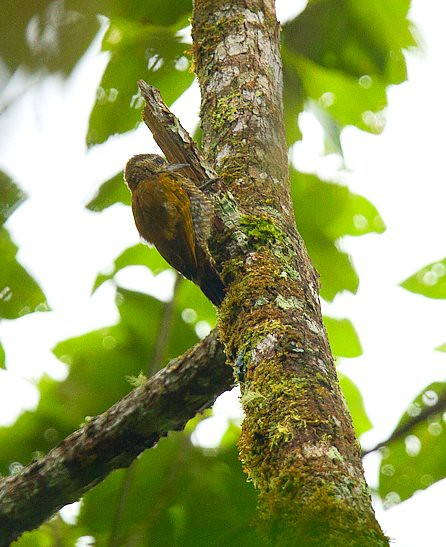 Red-stained Woodpecker fem - Zamora - South-Ecuador_S4E1116