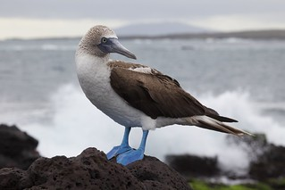 Blue-footed Booby   by Ndecam