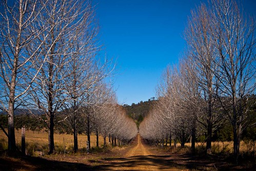 trees rural landscape country australia avenue beechwood kindee avenueofbones pipeclayroad dennisgay