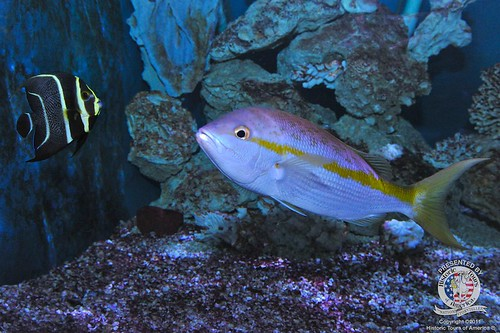 Yellowtailed snapper | by keywest aquarium
