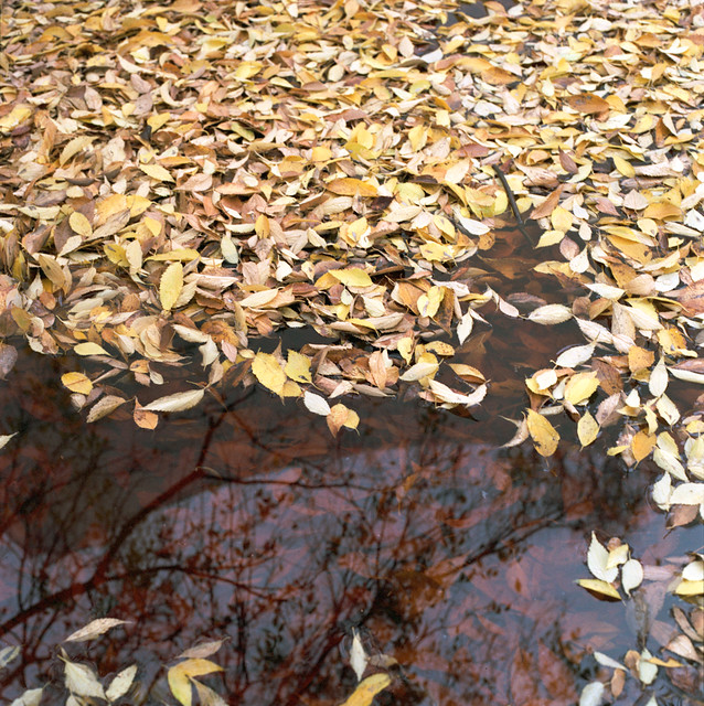 Automn leaves in pool, Venice