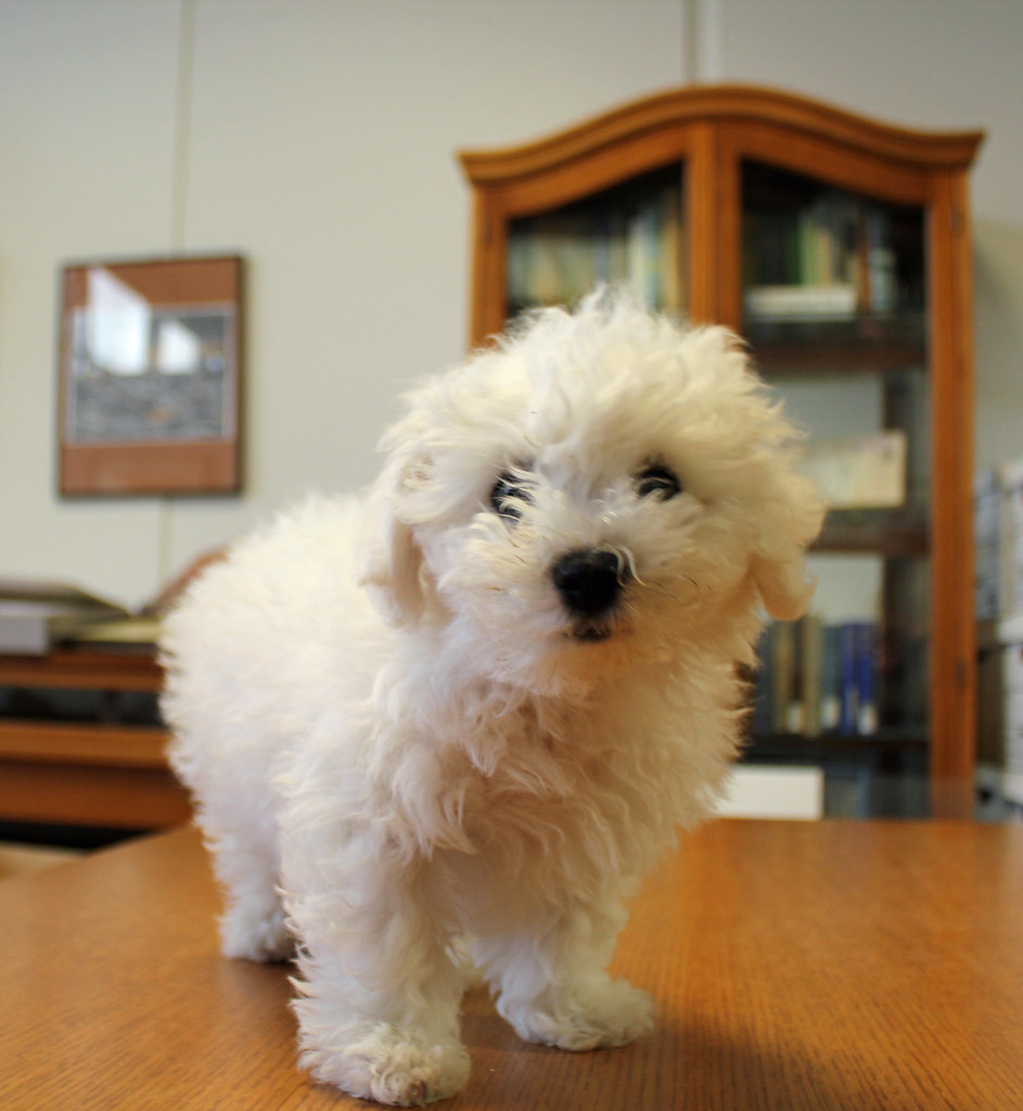 Bichon Frise | This is my colleague Rosemary's new bichon fr