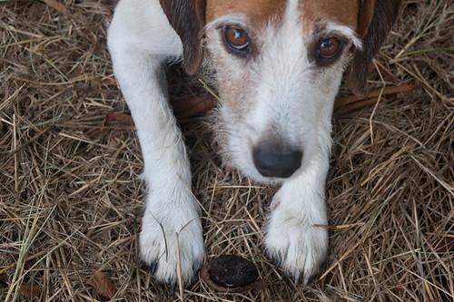 Dog Protects Walnut