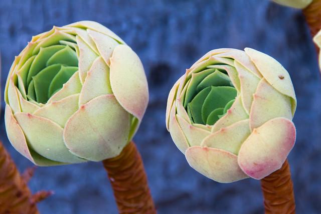 Aeonium Plant