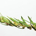 Flickr photo 'Bassia scoparia subsp. densiflora (48°07' N 16°26' E)' by: HermannFalkner/sokol.