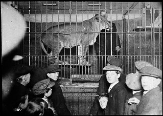 Observing a caged lion
