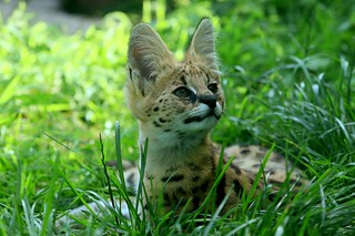 [5772] Serval cub | by zoofanatic