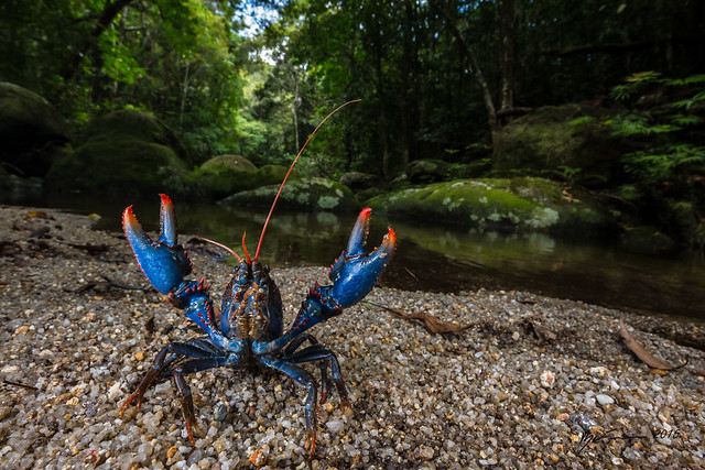 Red and Blue Spiny Crayfish
