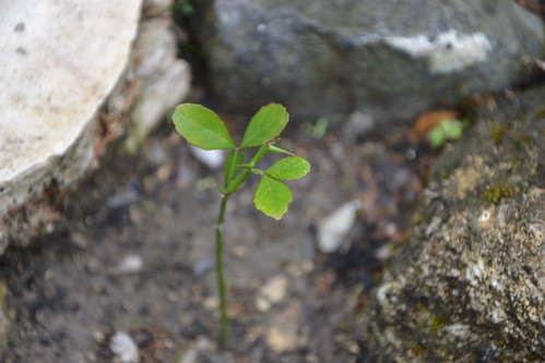 Citrus trifoliata (= Poncirus trifoliata) 32591622442_a7b010dc5f