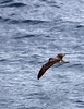 Streaked Shearwater by blueeyes_inoki