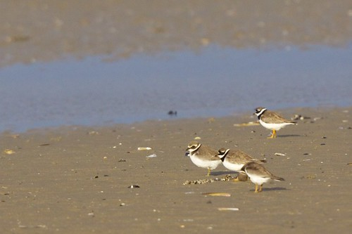 Charadrius hiaticula  - Common Ringed Plover | by Marc Nollet