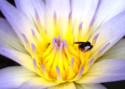 Lotus Azul | by muccamargo