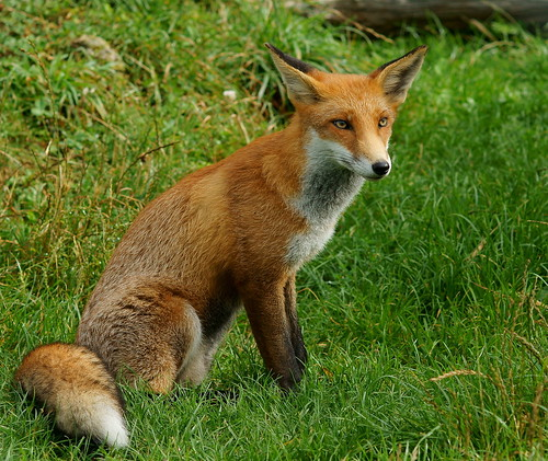 Young fox (1)