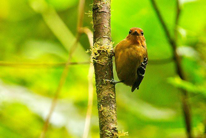 Scale-backed Antbird fem - Podocarpus NP - South-Ecuador_S4E1174