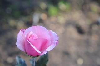 Rose at Morcom Rose Garden