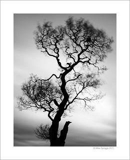 Lone Oak Tree, Study 7