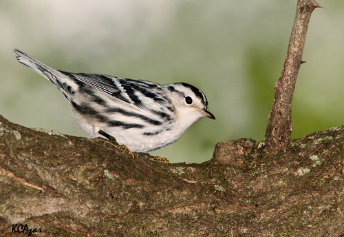 Black and White Warbler   by Kelly Colgan Azar