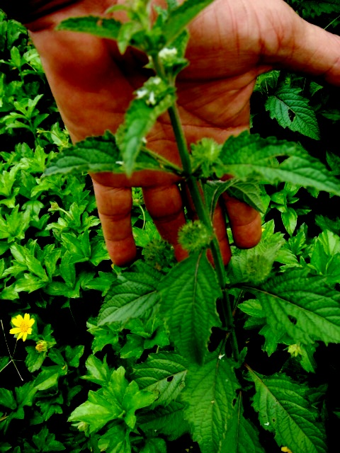 Malaysian Weeds Flickr