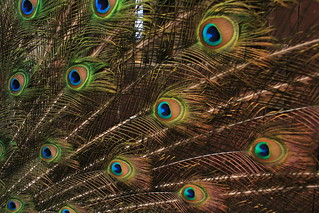 Peacock | by redshoes_nz