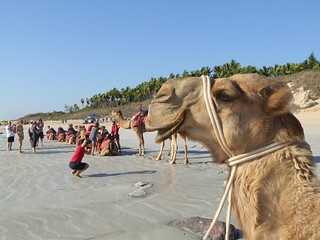 Broome camels | by Robin Hutton
