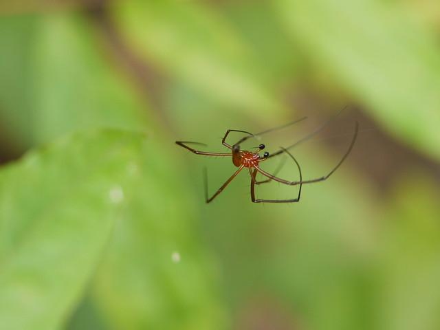 ... spider :: Nephila maculata ♂
