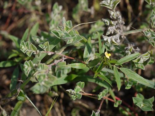 tropical annual fabaceae herb peafamily papilionaceae hamata beanfamily legumefamily shortlivedperennial stylosantheshumilis stylosantheshamata caribbeanstylo hedysarumhamatum stylosantheseriocarpa stylosanthesprocumbens