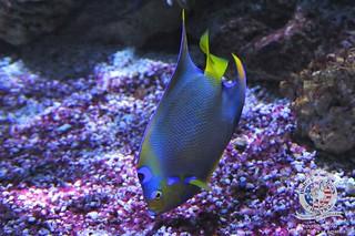 Queen angelfish   by keywest aquarium