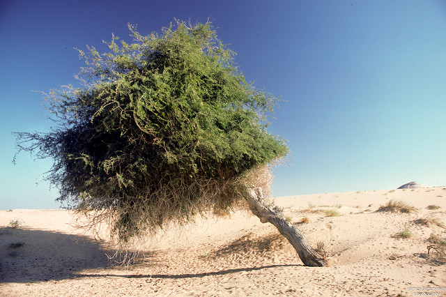 Eastern Sands - Lone Tree