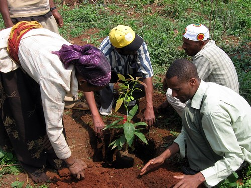 Ethiopia - Planting Avocado Trees in Katbare - July 2011 | by treesftf