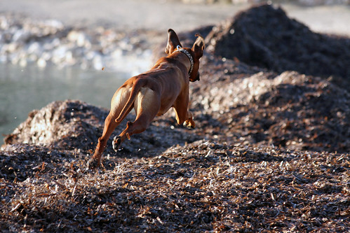 jump bigger version | by Zola the Rhodesian Ridgeback Girl