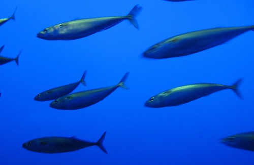 Mackerel? Young tuna? Not sardines or anchovies...   by wbaiv