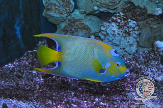 Queen angelfish | by keywest aquarium