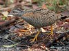 Painted Buttonquail (Turnix varia) by aviceda