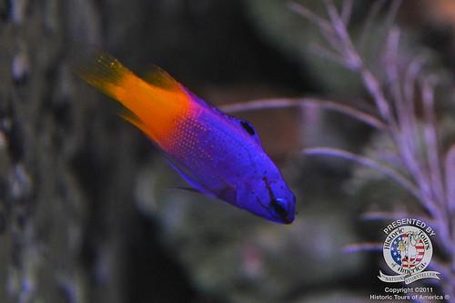 Royal gramma fish | by keywest aquarium