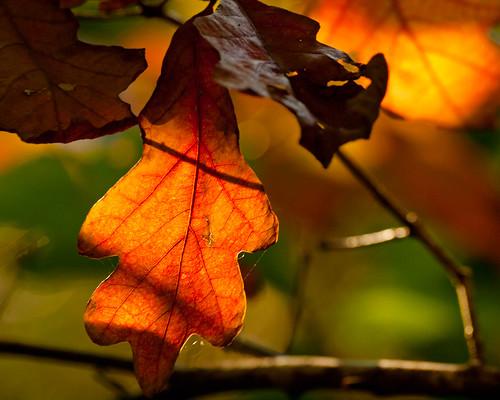 new autumn shadow england orange sunlight color green fall backlight ma warm glow bokeh massachusetts branches newengland foliage cobweb oakleaf veins backlit carlisle goldenhour 2011 cranberrybog carlisleconservationland