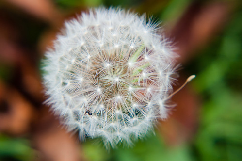 Tiny spider on a dandelion seed head