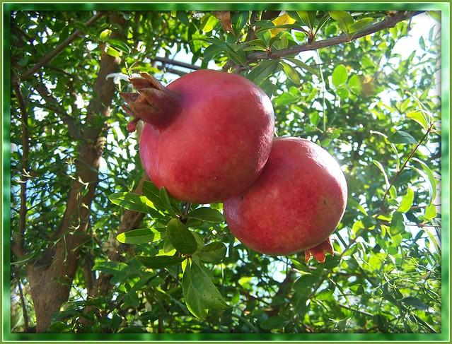 Pomegranates' Beauty Hiding some 600 Tightly Embraced Arils