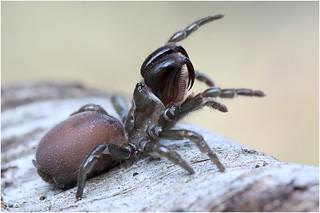 Atypus affinis | by DerAndereMicha