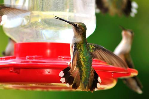 Hummingbird | by bettyloulou70