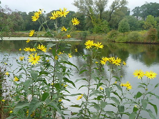 Fresh Pond - Wildflowers, Cambridge, MA | by CharlesCherney.com