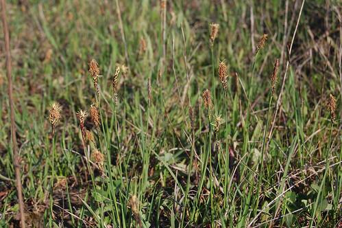 Carex tomentosa   by David Genoud