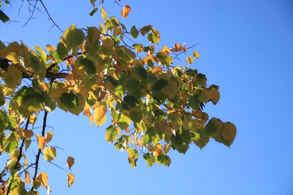 Marronier d'automne