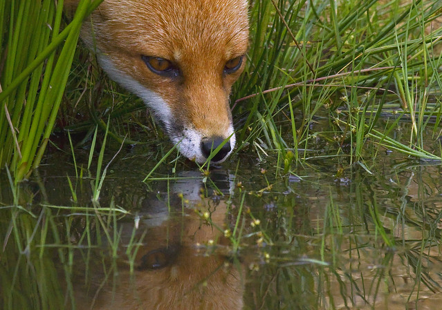 Red Fox drinking from pond, Ian Wade