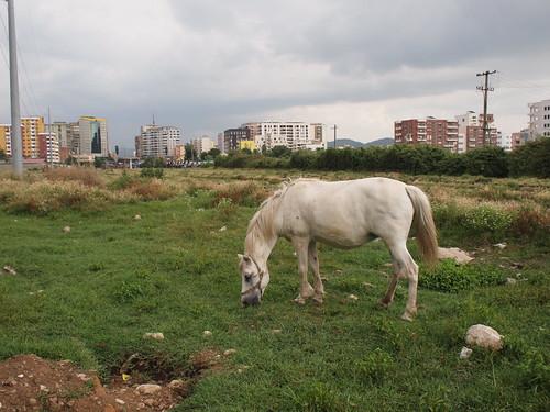 horse albania cavallo tirana tiranaekspress