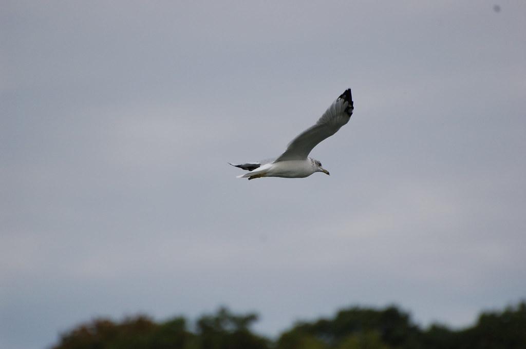 Gull Russ