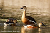 Wandering Whistling-Duck by SillyOldBugger (in and out of internet range)