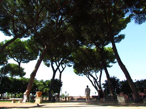 Pinus pinea (Giardino degli Aranci) | by chuck b.