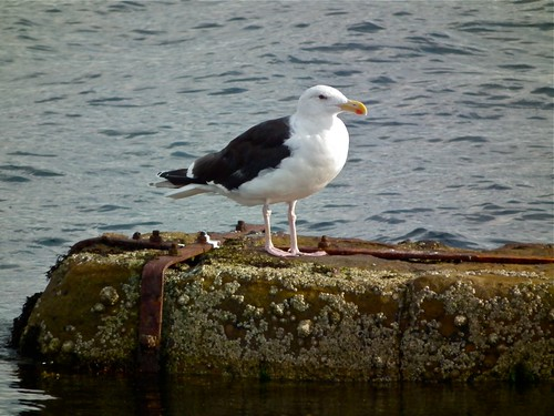 Greater Black-backed Gull | by P. Stubbs photo