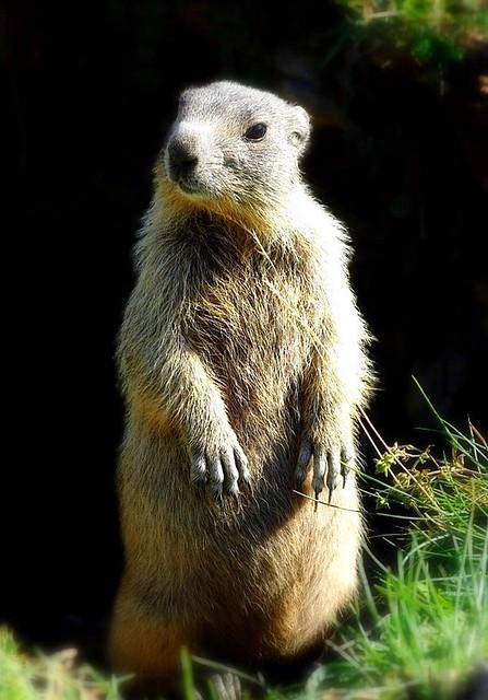 Marmotte des Hautes-Alpes