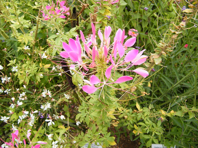 Cleome afrospinosa Iltis (CAPPARACEAE)